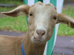 [Goat looking quizzical]