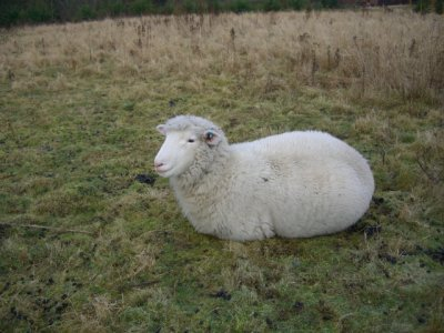 [Helen the Poll Dorset ewe]